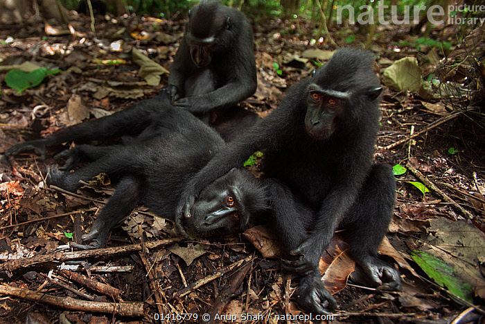 Celebes / Black crested macaque (Macaca nigra) group grooming on ground, Tangkoko National Park, Sulawesi, Indonesia.  ,  ASIA,BLACK CRESTED MACAQUE,BONDING,CERCOPITHECIDAE,CRITICALLY ENDANGERED,ENDANGERED,FORESTS,GROOMING,GROUPS,INDONESIA,INTERACTION,MACAQUES,MAMMALS,MONKEYS,NATIONAL PARK,NP,PRIMATES,RELAXING,RESERVE,RESTING,SITTING,SOCIAL BEHAVIOUR,SOUTH EAST ASIA,THREE,TROPICAL,TROPICS,VERTEBRATES  ,  Anup Shah