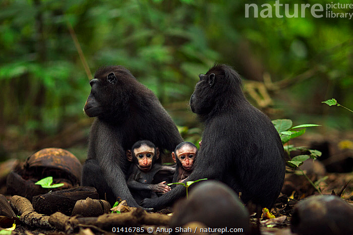 Celebes / Black crested macaque (Macaca nigra)  females sitting with their babies aged less than 1 month, Tangkoko National Park, Sulawesi, Indonesia.  ,  ASIA,BABIES,BLACK CRESTED MACAQUE,CERCOPITHECIDAE,CRITICALLY ENDANGERED,ENDANGERED,FEMALES,FORESTS,GROUPS,INDONESIA,JUVENILE,MACAQUES,MAMMALS,MONKEYS,MOTHER AND YOUNG,MOTHER BABY,NATIONAL PARK,NP,PRIMATES,RESERVE,RESTING,SITTING,SOUTH EAST ASIA,TROPICAL,TROPICS,VERTEBRATES,YOUNG  ,  Anup Shah