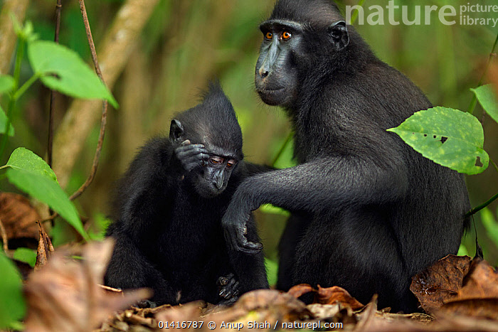 Celebes / Black crested macaque (Macaca nigra)  female grooming an infant, Tangkoko National Park, Sulawesi, Indonesia.  ,  ASIA,BLACK CRESTED MACAQUE,CERCOPITHECIDAE,CRITICALLY ENDANGERED,ENDANGERED,FEMALES,FORESTS,INDONESIA,JUVENILE,MACAQUES,MAMMALS,MONKEYS,MOTHER AND YOUNG,NATIONAL PARK,NP,PRIMATES,RESERVE,SITTING,SOUTH EAST ASIA,TROPICAL,TROPICS,VERTEBRATES,YOUNG  ,  Anup Shah