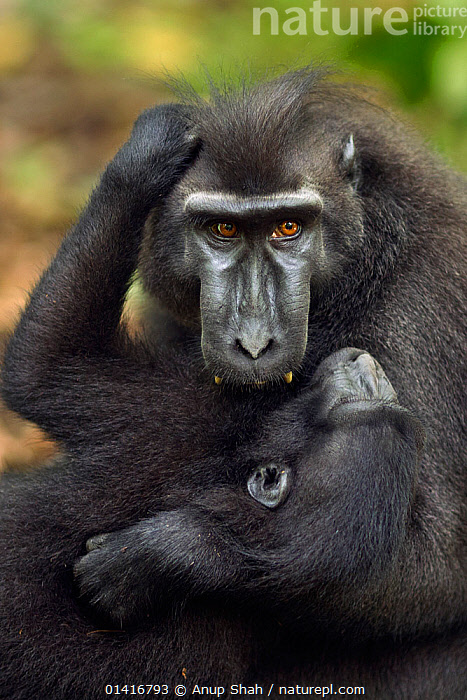 Celebes / Black crested macaque (Macaca nigra)  sub-adult male playing with a juvenile, Tangkoko National Park, Sulawesi, Indonesia.  ,  AFFECTIONATE,ASIA,black crested macaque,bonding,Cercopithecidae,CRITICALLY-ENDANGERED,ENDANGERED,FORESTS,immature,INDONESIA,INTERACTION,JUVENILE,MACAQUES,MALES,MAMMALS,MONKEYS,national park,NP,play,playful,playing,PORTRAITS,PRIMATES,RESERVE,SOCIAL-BEHAVIOUR,SOUTH-EAST-ASIA,subadult,TROPICAL,tropics,VERTEBRATES,VERTICAL,YOUNG high1314,MACACA NIGRA,Animal,Vertebrate,Mammal,Monkey,Macaque,Animalia,Animal,Wildlife,Vertebrate,Mammalia,Mammal,Primate,Primates,Cercopithecidae,Monkey,Old World Monkeys,Macaca,Macaque,Papionini,Macaca nigra,Pulling,Tugging,Head Back,Head Cocked,Patience,Protection,Black,Hairstyle,Hairstyles,Two,Nobody,Affectionate,Affection,Asia,South East Asia,Indonesia,Close Up,Front View,View From Front,Young Animal,Juvenile,Male Animal,Hair,Fur,Outdoors,Open Air,Outside,Day,Nature,Natural,Natural World,Wild,Animal Behaviour,Playing,Reserve,Behaviour,Biodiversity hotspot,Play,Playful,Sulawesi,Wallacea,Protected area,National Park,Two animals,Direct Gaze,Parenting,Tangkoko National Park,Protector,Animal Hair  ,  Anup Shah