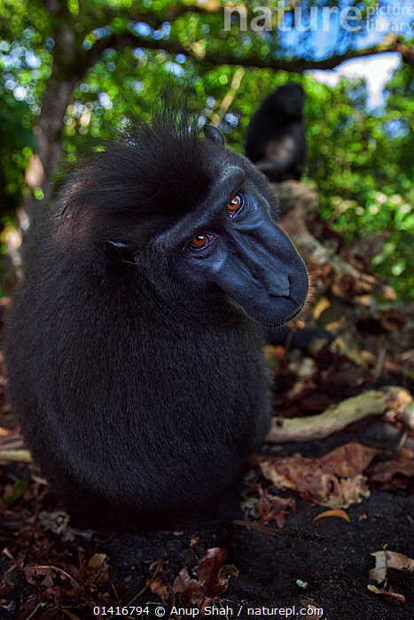 Celebes / Black crested macaque (Macaca nigra)  sub-adult male watching over back with curiosity, Tangkoko National Park, Sulawesi, Indonesia.  ,  ALERT,ASIA,BLACK CRESTED MACAQUE,CERCOPITHECIDAE,COPYSPACE,CRITICALLY ENDANGERED,CURIOUS,ENDANGERED,FACES,FORESTS,HEADS,IMMATURE,INDONESIA,LOOKING AT CAMERA,MACAQUES,MALES,MAMMALS,MONKEYS,NATIONAL PARK,NP,PORTRAITS,PRIMATES,REAR,RESERVE,SOUTH EAST ASIA,SUBADULT,TROPICAL,TROPICS,VERTEBRATES,VERTICAL,WATCHING,WIDE ANGLE  ,  Anup Shah