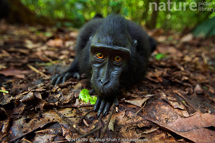 Celebes / Black crested macaque (Macaca nigra)  juvenile on ground watching with curiosity, Tangkoko National Park, Sulawesi, Indonesia.  ,  ASIA,BLACK CRESTED MACAQUE,CERCOPITHECIDAE,CRITICALLY ENDANGERED,CURIOUS,ENDANGERED,FACES,FORESTS,GROUND,HEADS,INDONESIA,JUVENILE,LOOKING AT CAMERA,MACAQUES,MAMMALS,MONKEYS,NATIONAL PARK,NP,PORTRAITS,PRIMATES,RESERVE,SOUTH EAST ASIA,TROPICAL,TROPICS,VERTEBRATES,WIDE ANGLE,YOUNG  ,  Anup Shah