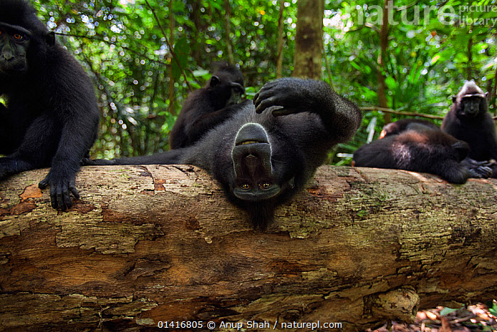 Celebes / Black crested macaque (Macaca nigra)  sub-adult male being playful on a fallen tree,  Tangkoko National Park, Sulawesi, Indonesia.  ,  ASIA,BLACK CRESTED MACAQUE,CERCOPITHECIDAE,CRITICALLY ENDANGERED,ENDANGERED,FORESTS,GROUPS,IMMATURE,INDONESIA,MACAQUES,MALES,MAMMALS,MONKEYS,NATIONAL PARK,NP,PLAYFUL,PRIMATES,RELAXING,RESERVE,RESTING,SOUTH EAST ASIA,SUBADULT,TROPICAL,TROPICS,VERTEBRATES  ,  Anup Shah