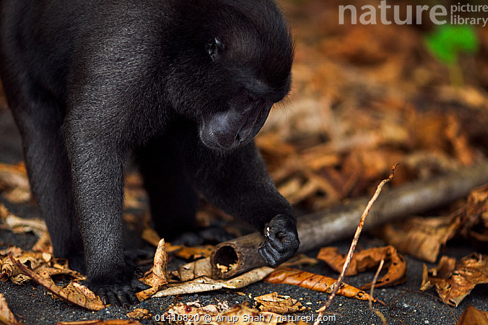 Celebes / Black crested macaque (Macaca nigra)  mature male feeding on ants eggs found in decomposing leaves, Tangkoko National Park, Sulawesi, Indonesia.  ,  ANTS,ASIA,BEHAVIOUR,BLACK CRESTED MACAQUE,CERCOPITHECIDAE,CRITICALLY ENDANGERED,EGGS,ENDANGERED,FEEDING,FORESTS,GROUND,INDONESIA,INSECTS,LEAVES,MACAQUES,MALES,MAMMALS,MONKEYS,NATIONAL PARK,NP,PRIMATES,RESERVE,SOUTH EAST ASIA,TROPICAL,TROPICS,VERTEBRATES,Invertebrates  ,  Anup Shah