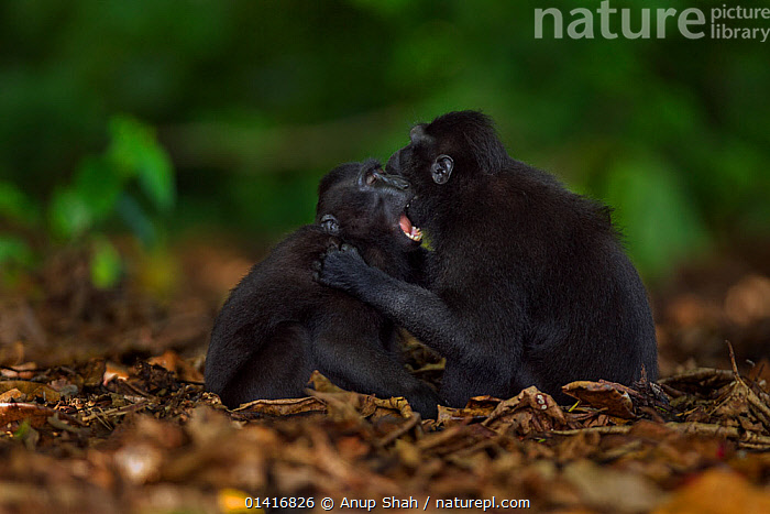 Celebes / Black crested macaque (Macaca nigra)  juveniles play fighting on ground, Tangkoko National Park, Sulawesi, Indonesia.  ,  ASIA,BLACK CRESTED MACAQUE,CERCOPITHECIDAE,CRITICALLY ENDANGERED,ENDANGERED,FIGHTING,FORESTS,GROUND,INDONESIA,INTERACTION,JUVENILE,MACAQUES,MAMMALS,MONKEYS,NATIONAL PARK,NP,PLAY,PLAY FIGHTING,PLAYFUL,PLAYING,PRIMATES,RESERVE,SOCIAL BEHAVIOUR,SOUTH EAST ASIA,TROPICAL,TROPICS,VERTEBRATES,YOUNG,Aggression,Communication  ,  Anup Shah
