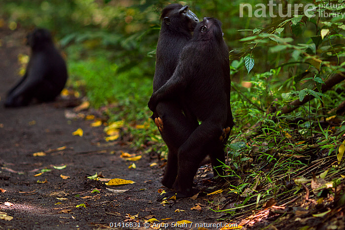 Celebes / Black crested macaque (Macaca nigra)  males from rival groups greeting each other by standing and hugging, Tangkoko National Park, Sulawesi, Indonesia.  ,  ASIA,BEHAVIOUR,BLACK CRESTED MACAQUE,CERCOPITHECIDAE,COMMUNICATION,CRITICALLY ENDANGERED,ENDANGERED,FORESTS,HUGGING,INDONESIA,INTERACTION,MACAQUES,MALES,MAMMALS,MONKEYS,NATIONAL PARK,NP,PRIMATES,RESERVE,SOCIAL BEHAVIOUR,SOUTH EAST ASIA,TROPICAL,TROPICS,VERTEBRATES  ,  Anup Shah