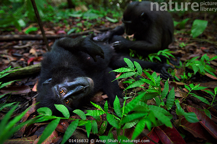 Celebes / Black crested macaque (Macaca nigra)  female being groomed by a juvenile, Tangkoko National Park, Sulawesi, Indonesia.  ,  ASIA,BLACK CRESTED MACAQUE,BONDING,CERCOPITHECIDAE,CRITICALLY ENDANGERED,ENDANGERED,FEMALES,FORESTS,GROOMING,GROUND,INDONESIA,INTERACTION,JUVENILE,MACAQUES,MAMMALS,MONKEYS,NATIONAL PARK,NP,PRIMATES,RESERVE,SOCIAL BEHAVIOUR,SOUTH EAST ASIA,TROPICAL,TROPICS,VERTEBRATES,WIDE ANGLE,YOUNG  ,  Anup Shah