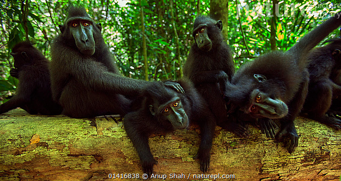 Celebes / Black crested macaque (Macaca nigra)  group watching with curiosity, Tangkoko National Park, Sulawesi, Indonesia.  ,  ASIA,BLACK CRESTED MACAQUE,CERCOPITHECIDAE,CRITICALLY ENDANGERED,ENDANGERED,FAMILIES,FORESTS,GROUPS,INDONESIA,LOOKING,MACAQUES,MAMMALS,MONKEYS,NATIONAL PARK,NP,PANORAMIC,PRIMATES,RESERVE,SOUTH EAST ASIA,TROOPS,TROPICAL,TROPICS,VERTEBRATES,WATCHING,WIDE ANGLE  ,  Anup Shah