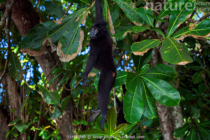 Celebes / Black crested macaque (Macaca nigra)  juvenile hanging from a branch, Tangkoko National Park, Sulawesi, Indonesia.  ,  ASIA,BEHAVIOUR,BLACK CRESTED MACAQUE,BRANCHES,CERCOPITHECIDAE,CLIMBING,CRITICALLY ENDANGERED,ENDANGERED,FORESTS,HANGING,INDONESIA,JUVENILE,MACAQUES,MAMMALS,MONKEYS,NATIONAL PARK,NP,PLAYFUL,PRIMATES,RESERVE,SOUTH EAST ASIA,SWINGING,TREES,TROPICAL,TROPICS,VERTEBRATES,YOUNG,PLANTS  ,  Anup Shah