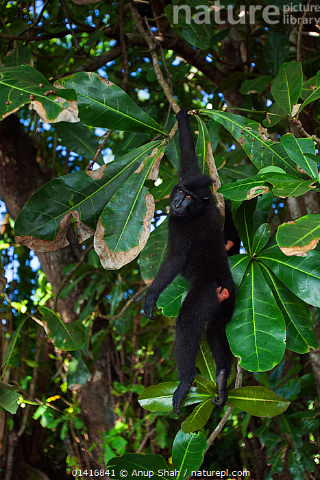 Celebes / Black crested macaque (Macaca nigra)  juvenile hanging from a branch, Tangkoko National Park, Sulawesi, Indonesia.  ,  ASIA,BLACK CRESTED MACAQUE,CERCOPITHECIDAE,CLIMBING,CRITICALLY ENDANGERED,ENDANGERED,FORESTS,HANGING,INDONESIA,JUVENILE,LEAVES,MACAQUES,MAMMALS,MONKEYS,NATIONAL PARK,NP,PLAYFUL,PRIMATES,RESERVE,SOUTH EAST ASIA,SWINGING,TREES,TROPICAL,TROPICS,VERTEBRATES,VERTICAL,YOUNG,PLANTS  ,  Anup Shah
