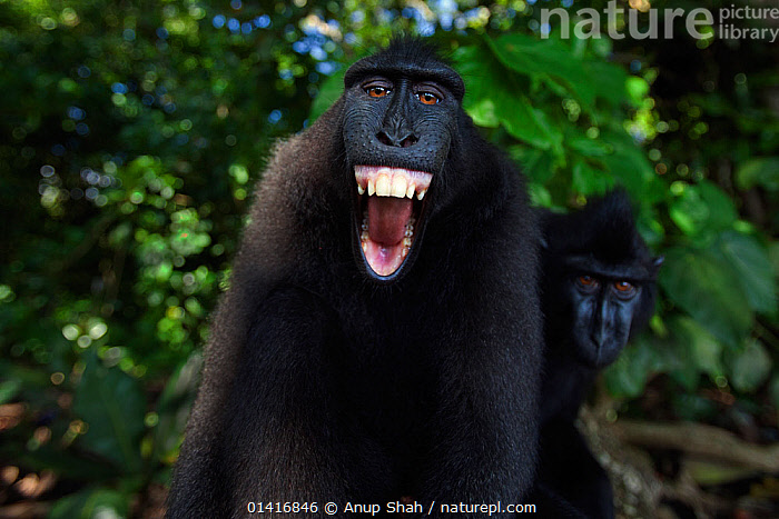 Celebes / Black crested macaque (Macaca nigra)  sub-adult male making threat gesture, most likely against reflection in camera lens, Tangkoko National Park, Sulawesi, Indonesia.  ,  AGGRESSION,ASIA,BEHAVIOUR,BLACK CRESTED MACAQUE,CERCOPITHECIDAE,COMMUNICATION,CRITICALLY ENDANGERED,CURIOUS,DISPLAY,ENDANGERED,EXPRESSIONS,FACES,FORESTS,GRIMACING,HEADS,IMMATURE,INDONESIA,JUVENILE,LOOKING AT CAMERA,MACAQUES,MALES,MAMMALS,MONKEYS,MOUTHS,NATIONAL PARK,NP,PORTRAITS,PRIMATES,REFLECTIONS,RESERVE,SMILING,SOCIAL BEHAVIOUR,SOUTH EAST ASIA,SUBADULT,TEETH,THREATENING,TROPICAL,TROPICS,VERTEBRATES,VOCALISATION,WIDE ANGLE,YAWNING,YOUNG  ,  Anup Shah