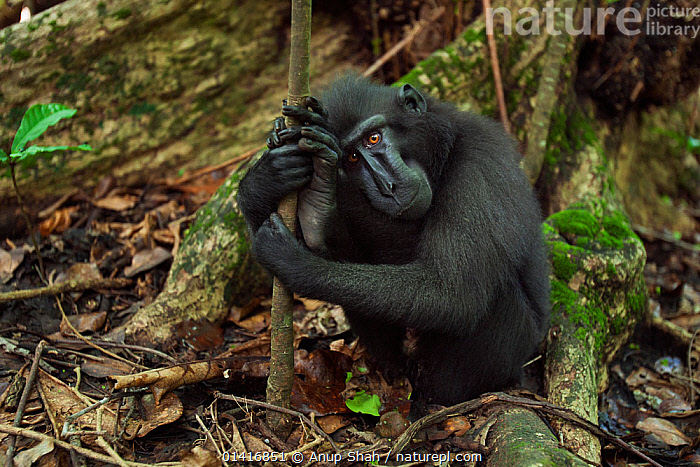 Celebes / Black crested macaque (Macaca nigra)  sub-adult male resting against a small tree, Tangkoko National Park, Sulawesi, Indonesia.  ,  ASIA,BLACK CRESTED MACAQUE,CERCOPITHECIDAE,CRITICALLY ENDANGERED,ENDANGERED,FORESTS,IMMATURE,INDONESIA,MACAQUES,MALES,MAMMALS,MONKEYS,NATIONAL PARK,NP,PRIMATES,RESERVE,RESTING,SAD,SOUTH EAST ASIA,SUBADULTS,THOUGHTFUL,TROPICAL,TROPICS,VERTEBRATES,Concepts  ,  Anup Shah