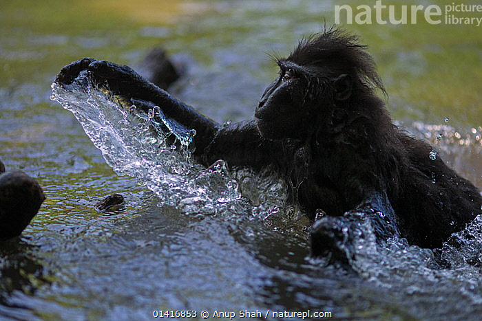Celebes / Black crested macaque (Macaca nigra) playing in the river, Tangkoko National Park, Sulawesi, Indonesia.  ,  ACTION,ASIA,BLACK CRESTED MACAQUE,CERCOPITHECIDAE,CRITICALLY ENDANGERED,ENDANGERED,FORESTS,INDONESIA,JUVENILE,MACAQUES,MAMMALS,MONKEYS,NATIONAL PARK,NP,PLAY,PLAYFUL,PLAYING,PRIMATES,RESERVE,RIVERS,SOUTH EAST ASIA,SPLASHING,SPRAY,TROPICAL,TROPICS,VERTEBRATES,WATER,YOUNG,Communication  ,  Anup Shah