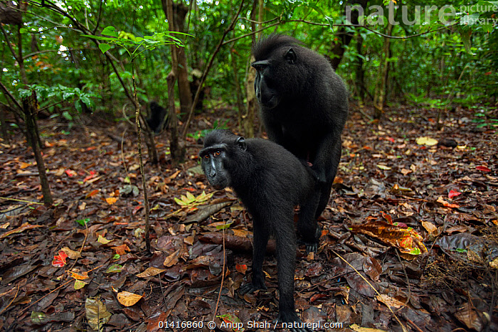 Celebes / Black crested macaque (Macaca nigra) male and female mating in forest clearing, Tangkoko National Park, Sulawesi, Indonesia.  ,  ASIA,BLACK CRESTED MACAQUE,CERCOPITHECIDAE,CLEARING,COPULATION,CRITICALLY ENDANGERED,ENDANGERED,FORESTS,INDONESIA,MACAQUES,MALE FEMALE PAIR,MAMMALS,MATING,MATING BEHAVIOUR,MONKEYS,NATIONAL PARK,NP,PRIMATES,REPRODUCTION,RESERVE,SEXUAL BEHAVIOUR,SOUTH EAST ASIA,TROPICAL,TROPICAL RAINFOREST,TROPICS,VERTEBRATES  ,  Anup Shah