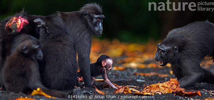 Celebes / Black crested macaque (Macaca nigra)  female begging to hold another female's baby, Tangkoko National Park, Sulawesi, Indonesia.  ,  ASIA,BABIES,BEGGING,BEHAVIOUR,BLACK CRESTED MACAQUE,CERCOPITHECIDAE,COMMUNICATION,CRITICALLY ENDANGERED,ENDANGERED,FEMALES,FORESTS,INDONESIA,INTERACTION,JUVENILE,MACAQUES,MAMMALS,MONKEYS,MOTHER AND YOUNG,NATIONAL PARK,NP,PANORAMIC,PRIMATES,RESERVE,SOCIAL BEHAVIOUR,SOUTH EAST ASIA,TROPICAL,TROPICS,VERTEBRATES,VOCALISATION,YOUNG  ,  Anup Shah