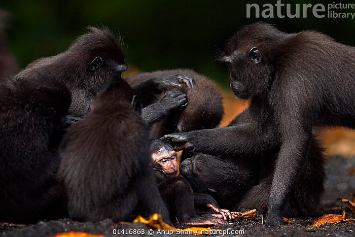 Celebes / Black crested macaque (Macaca nigra)  group including a baby aged less than 1 month resting and grooming, Tangkoko National Park, Sulawesi, Indonesia.  ,  ASIA,BABIES,BLACK CRESTED MACAQUE,BONDING,CERCOPITHECIDAE,CRITICALLY ENDANGERED,ENDANGERED,FAMILIES,FORESTS,GROOMING,GROUPS,INDONESIA,JUVENILE,MACAQUES,MAMMALS,MONKEYS,NATIONAL PARK,NP,PRIMATES,RESERVE,RESTING,SITTING,SOCIAL BEHAVIOUR,SOUTH EAST ASIA,TROOPS,TROPICAL,TROPICS,VERTEBRATES,YOUNG  ,  Anup Shah
