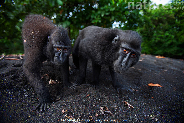 Celebes / Black crested macaque (Macaca nigra)  juveniles approaching with curiosity, Tangkoko National Park, Sulawesi, Indonesia.  ,  ASIA,BLACK CRESTED MACAQUE,CERCOPITHECIDAE,CRITICALLY ENDANGERED,ENDANGERED,FORESTS,IMMATURE,INDONESIA,JUVENILE,MACAQUES,MAMMALS,MONKEYS,NATIONAL PARK,NP,PRIMATES,RESERVE,SOUTH EAST ASIA,SUBADULT,TROPICAL,TROPICS,TWO,VERTEBRATES,WATCHING,WIDE ANGLE,YOUNG  ,  Anup Shah