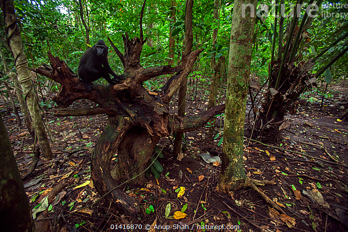 Celebes / Black crested macaque (Macaca nigra)  juvenile male sitting on a tree stump, Tangkoko National Park, Sulawesi, Indonesia.  ,  ASIA,BLACK CRESTED MACAQUE,CERCOPITHECIDAE,CRITICALLY ENDANGERED,ENDANGERED,FORESTS,HABITAT,INDONESIA,INTERIOR,LANDSCAPES,MACAQUES,MAMMALS,MONKEYS,NATIONAL PARK,NP,PRIMATES,RESERVE,RESTING,SITTING,SOUTH EAST ASIA,TREES,TROPICAL,TROPICAL RAINFOREST,TROPICS,VERTEBRATES,PLANTS  ,  Anup Shah