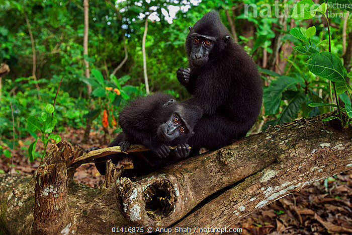Celebes / Black crested macaque (Macaca nigra)  juveniles grooming on a fallen tree, Tangkoko National Park, Sulawesi, Indonesia.  ,  ASIA,BLACK CRESTED MACAQUE,CERCOPITHECIDAE,CRITICALLY ENDANGERED,ENDANGERED,FORESTS,GROOMING,HABITAT,INDONESIA,INTERACTION,JUVENILE,MACAQUES,MAMMALS,MONKEYS,NATIONAL PARK,NP,PRIMATES,RESERVE,RESTING,SOCIAL BEHAVIOUR,SOUTH EAST ASIA,TROPICAL,TROPICS,TWO,VERTEBRATES,YOUNG  ,  Anup Shah