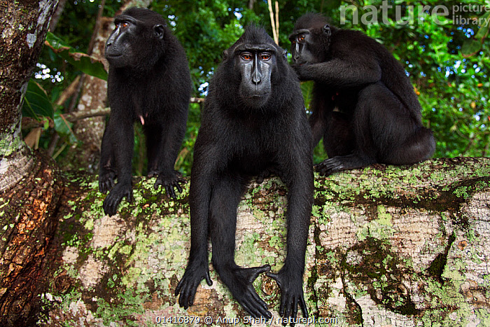 Celebes / Black crested macaque (Macaca nigra) group resting and grooming on a fallen tree, Tangkoko National Park, Sulawesi, Indonesia.  ,  ASIA,BLACK CRESTED MACAQUE,CERCOPITHECIDAE,CRITICALLY ENDANGERED,ENDANGERED,FAMILIES,FORESTS,GROOMING,GROUPS,INDONESIA,INTERACTION,MACAQUES,MAMMALS,MONKEYS,NATIONAL PARK,NP,PRIMATES,RELAXING,RESERVE,RESTING,SITTING,SOCIAL BEHAVIOUR,SOUTH EAST ASIA,TROOPS,TROPICAL,TROPICS,VERTEBRATES  ,  Anup Shah