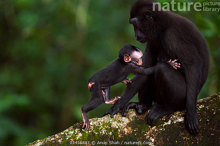 Celebes / Black crested macaque (Macaca nigra)  female sitting in a tree with her playful baby aged less than 1 month, Tangkoko National Park, Sulawesi, Indonesia.  ,  ASIA,BABIES,BLACK CRESTED MACAQUE,CERCOPITHECIDAE,CRITICALLY ENDANGERED,ENDANGERED,FEMALES,FORESTS,INDONESIA,JUVENILE,MACAQUES,MAMMALS,MONKEYS,MOTHER AND YOUNG,NATIONAL PARK,NP,PLAY,PLAYFUL,PRIMATES,PROFILE,RESERVE,SOUTH EAST ASIA,TROPICAL,TROPICS,VERTEBRATES,YOUNG,Communication  ,  Anup Shah