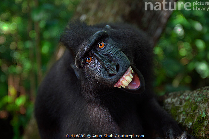 Celebes / Black crested macaque (Macaca nigra)  sub-adult male making threat gesture at reflection in camera lens, Tangkoko National Park, Sulawesi, Indonesia.  ,  AGGRESSION,ASIA,BEHAVIOUR,BLACK CRESTED MACAQUE,CERCOPITHECIDAE,COMMUNICATION,CRITICALLY ENDANGERED,CURIOUS,DISPLAY,ENDANGERED,EXPRESSION,FACES,FORESTS,HEADS,IMMATURE,INDONESIA,LOOKING AT CAMERA,MACAQUES,MALES,MAMMALS,MONKEYS,NATIONAL PARK,NP,PORTRAITS,PRIMATES,REFLECTIONS,RESERVE,SMILING,SOCIAL BEHAVIOUR,SOUTH EAST ASIA,SUBADULT,THREAT,TROPICAL,TROPICS,VERTEBRATES,WIDE ANGLE,,Selfie,  ,  Anup Shah