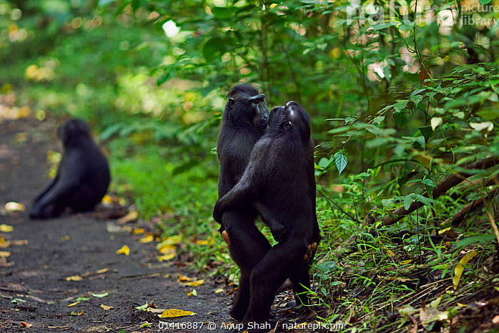 Celebes / Black crested macaque (Macaca nigra)  males from rival groups greeting each other by standing and hugging, Tangkoko National Park, Sulawesi, Indonesia.  ,  AFFECTIONATE,ASIA,BEHAVIOUR,BLACK CRESTED MACAQUE,CERCOPITHECIDAE,COMMUNICATION,CRITICALLY ENDANGERED,ENDANGERED,FORESTS,GREETING,HUGGING,INDONESIA,INTERACTION,INTERESTING,MACAQUES,MALES,MAMMALS,MONKEYS,NATIONAL PARK,NP,PRIMATES,RESERVE,SOCIAL BEHAVIOUR,SOUTH EAST ASIA,TROPICAL,TROPICS,VERTEBRATES  ,  Anup Shah