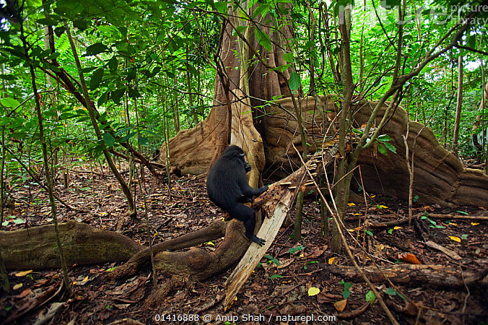 Celebes / Black crested macaque (Macaca nigra)  juvenile sitting on a tree buttress, Tangkoko National Park, Sulawesi, Indonesia.  ,  ASIA,BLACK CRESTED MACAQUE,CERCOPITHECIDAE,CRITICALLY ENDANGERED,ENDANGERED,FORESTS,HABITAT,INDONESIA,INTERIOR,JUVENILE,MACAQUES,MAMMALS,MONKEYS,NATIONAL PARK,NP,PRIMATES,RESERVE,RESTING,ROOTS,SITTING,SOUTH EAST ASIA,TREES,TROPICAL,TROPICAL RAINFOREST,TROPICS,VERTEBRATES,YOUNG,PLANTS  ,  Anup Shah