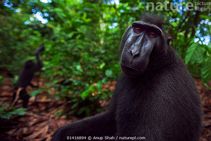Celebes / Black crested macaque (Macaca nigra)  sub-adult male head and shoulders portrait, Tangkoko National Park, Sulawesi, Indonesia.  ,  ASIA,BLACK CRESTED MACAQUE,CERCOPITHECIDAE,COPYSPACE,CRITICALLY ENDANGERED,ENDANGERED,FORESTS,IMMATURE,INDONESIA,MACAQUES,MALES,MAMMALS,MONKEYS,NATIONAL PARK,NP,PORTRAITS,PRIMATES,PROFILE,RESERVE,SITTING,SOUTH EAST ASIA,SUBADULT,TROPICAL,TROPICS,VERTEBRATES,WIDE ANGLE  ,  Anup Shah