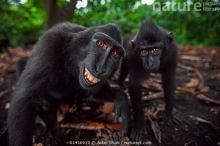 Celebes / Black crested macaque (Macaca nigra) two juveniles approaching with curiosity, one grimacing Tangkoko National Park, Sulawesi, Indonesia., ASIA,BLACK CRESTED MACAQUE,CERCOPITHECIDAE,CLOSE UPS,COMMUNICATION,CRITICALLY ENDANGERED,CURIOUS,ENDANGERED,EXPRESSIONS,FACES,FORESTS,HEADS,INDONESIA,LOOKING AT CAMERA,MACAQUES,MAMMALS,MONKEYS,NATIONAL PARK,NP,PORTRAITS,PRIMATES,REFLECTIONS,RESERVE,SMILING,SOUTH EAST ASIA,TROPICAL,TROPICS,TWO,VERTEBRATES,WIDE ANGLE,Catalogue5,,Personal Point of View,,,Selfie,, Anup Shah