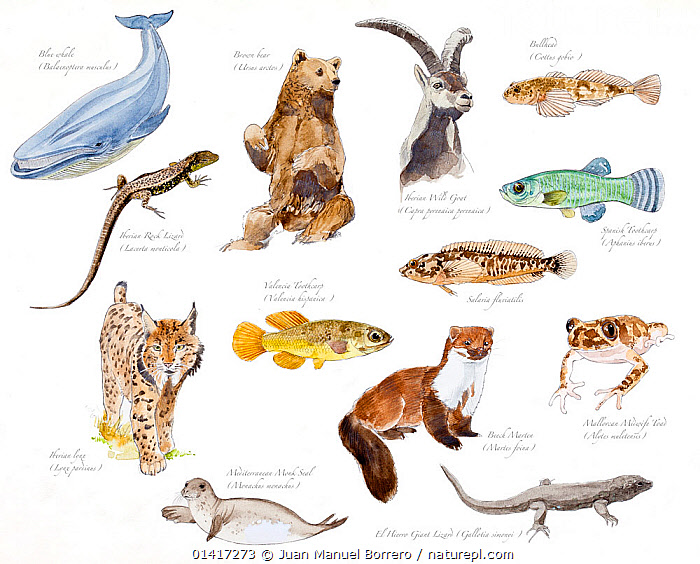 Illustration of threatened species of Spain : Blue whale (Balenoptera musculus), Brown bear (Ursus arctos), Spanish ibex (Capra pyrenaica hispanica), Bullhead (Cottus gobio), Iberian Rock Lizard (Lacerta monticola), Valencia toothcarp (Valencia hispanica), Freshwater blenny (Salaria fluvitalis), Spanish toothcarp (Aphanius iberus), Iberian lynx (Lynx pardinus), Mediterranean monk seal (Monachus monachus), Beech marten (Marten foina), El Hierro giant lizard (Gallotia simonyi), Mallorcan midwife toad (Alytes muletensis). Pencil and watercolor painting.  ,  AMPHIBIANS,ANURA,ARTIODACTYLA,BALAENOPTERIDAE,BEARS,BLENNIES,BOVIDAE,BULLHEADS,CARNIVORES,CATS,CETACEANS,CRITICALLY ENDANGERED,CUTOUT,ENDANGERED,FELIDAE,FISH,FRESHWATER,GOATS,ILLUSTRATION,ILLUSTRATIONS,LIZARDS,MAMMALS,MARINE,MARTENS,MIDWIFE TOADS,MIXED SPECIES,MUSTELIDAE,MUSTELIDS,OSTEICHTHYES,PAINTINGS,PHOCIDAE,PINNIPEDS,REPTILES,SEALS,SQUAMATA,STONE MARTEN,TOADS,TOOTHCARPS,URSIDAE,VERTEBRATES,WALL LIZARDS,WATERCOLOUR,WHALES,WHITE BACKGROUND  ,  Juan Manuel Borrero