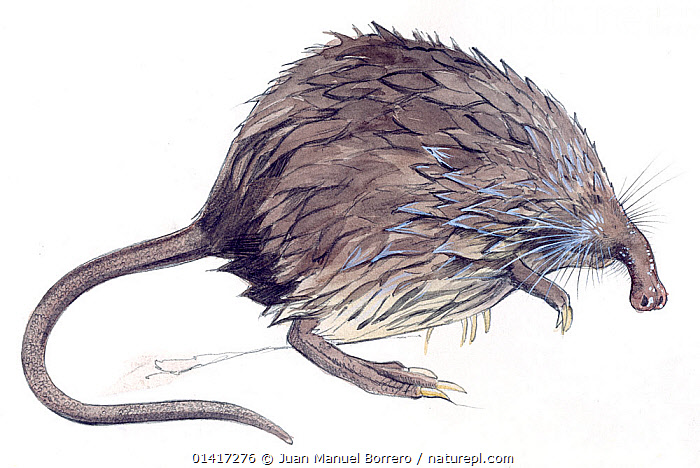 Illustration of Pyrenean Desman (Galemys pyrenaicus) native to Spain and the Pyrenees of France, vulnerable species. Pencil and watercolor painting., CUTOUT,DESMANS,ENDANGERED,ILLUSTRATION,ILLUSTRATIONS,INSECTIVORES,MAMMALS,MOLES,PAINTINGS,PORTRAITS,TALPIDAE,VERTEBRATES,WATERCOLOUR,WHITE BACKGROUND, Juan Manuel Borrero
