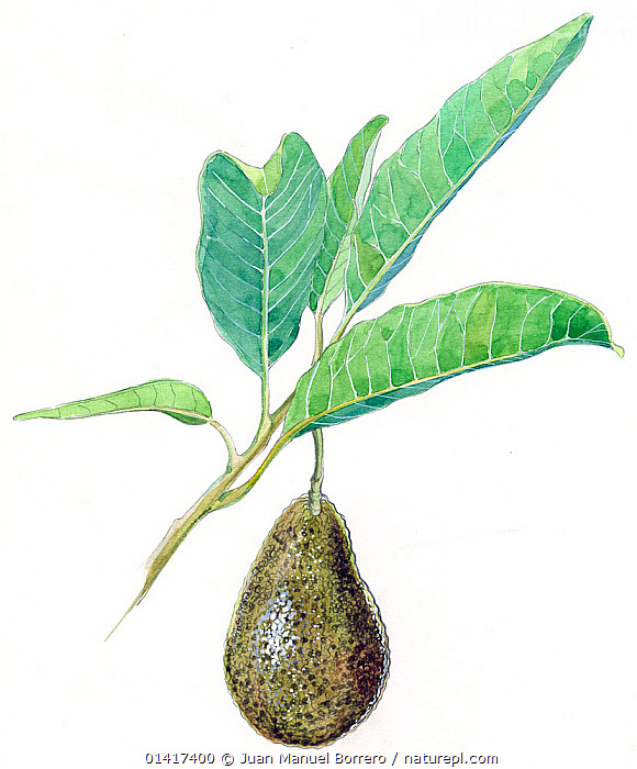 Illustration of Avocado (Persea americana). Detail of leaves and fruit. Pencil and watercolor painting.  ,  CHLORANTHACEAE,CUTOUT,DICOTYLEDONS,EDIBLE,FRUIT,ILLUSTRATION,ILLUSTRATIONS,PAINTINGS,PLANTS,VERTICAL,WATERCOLOUR,WHITE BACKGROUND  ,  Juan Manuel Borrero