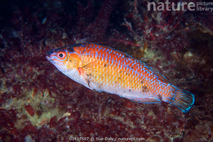 Rock Cook Wrasse (Centrolabrus exoletus) male. Guillaumesse, Sark, British Channel Islands, July.  ,  ATLANTIC,CHANNEL ISLANDS,COASTAL WATERS,EUROPE,FISH,MARINE,OSTEICHTHYES,TEMPERATE,UK,UNDERWATER,VERTEBRATES,WRASSE,United Kingdom  ,  Sue Daly