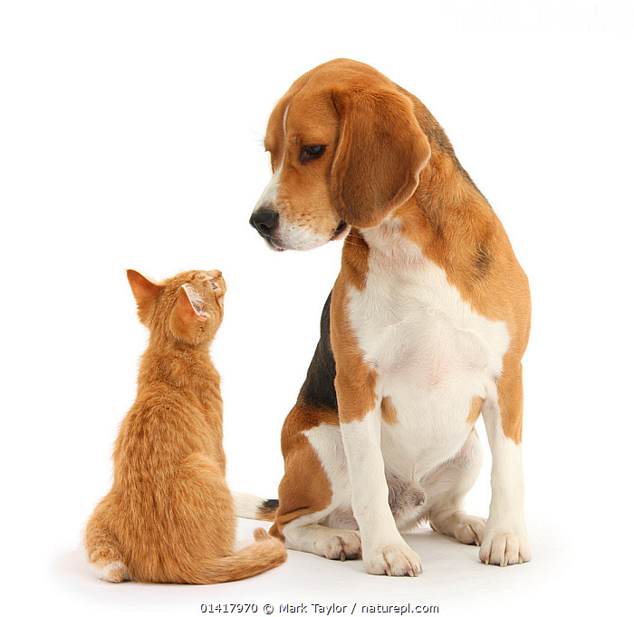 Beagle dog, Bruce, with ginger kitten, Tom. NOT AVAILABLE FOR BOOK USE  ,  AFFECTIONATE,BABIES,CANIDAE,CATS,COMMUNICATION,CURIOUS,CUTOUT,DOGS,DOMESTIC,FELINE,HOUNDS,INTERACTION,JUVENILE,KITTENS,LOOKING,MALES,MEDIUM DOGS,MIXED SPECIES,PETS,PORTRAITS,PROFILE,PUPPIES,SITTING,SQUARE ,STUDIO,VERTEBRATES,WHITE,WHITE BACKGROUND,YOUNG,Canids  ,  Mark Taylor