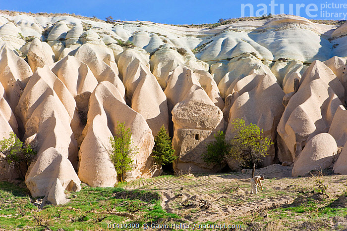 Man tending his vineyard in front of Tufa rock formations in the Rose Valley near Goreme, Anatolia, Turkey, 2008  ,  ASIA,ASIA MINOR,EROSION,EURASIA,EUROPE,FARMING,GEOLOGY,LANDSCAPES,PEOPLE,PLANTS,ROCK FORMATIONS,ROCKS,TRAVEL,VINES,VINEYARD,VOLCANIC  ,  Gavin Hellier
