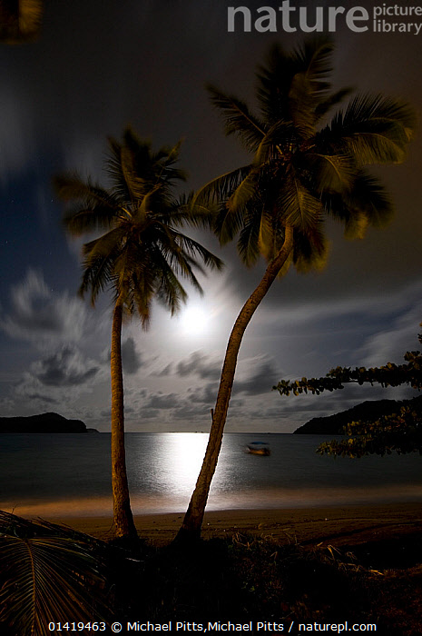 Coconut palms (Cocos nucifera) with the moon rising, Tobago, Caribbean.  ,  ARECACEAE,BEACHES,CARIBBEAN,CLOUDS,COASTAL WATERS,COASTS,ISLANDS,LANDSCAPES,MONOCOTYLEDONS,MOON,NIGHT,PALMS,PLANTS,sand,sandy,TROPICAL,VERTICAL,catalogue6,COCOS NUCIFERA,Plant,Vascular plant,Flowering plant,Monocot,Palm,Coconut palm,Plantae,Plant,Tracheophyta,Vascular plant,Magnoliopsida,Flowering plant,Angiosperm,Seed plant,Spermatophyte,Spermatophytina,Angiospermae,Arecales,Monocot,Monocotyledon,Lilianae,Arecaceae,Palm,Palm tree,Palmae,Palmaceae,Cocos,Coconut palm,Coconut,Cocos nucifera,Calappa nucifera,Cocos indica,Cocos nana,Romance,Romantic,Sayings,Getting Away From It All,Away From It All,Partnership,Two,No One,Nobody,The Caribbean,Trinidad And Tobago,Tree,Evergreen Tree,Palm Tree,Palm Trees,Palms,Coconut Palm,Coconut Palm Tree,Coconut Palm Trees,Coconut Palms,Coconut Tree,Coconut Trees,Cocopalm,Cocopalms,Horizon,Horizon Over Water,Beach,Light,Lights,Reflection,Moon,The Moon,Moonlight,Moonlit,Outdoors,Open Air,Outside,Twilight,Evening,Night,Nature,Natural,Natural World,Travel,Vacations,Honeymoon,Honeymoons,Coast,Coastal,Biodiversity hotspots,Dusk,View to sea,Two Objects,Moonrise,West Indies,Weather  ,  Michael Pitts,Michael Pitts