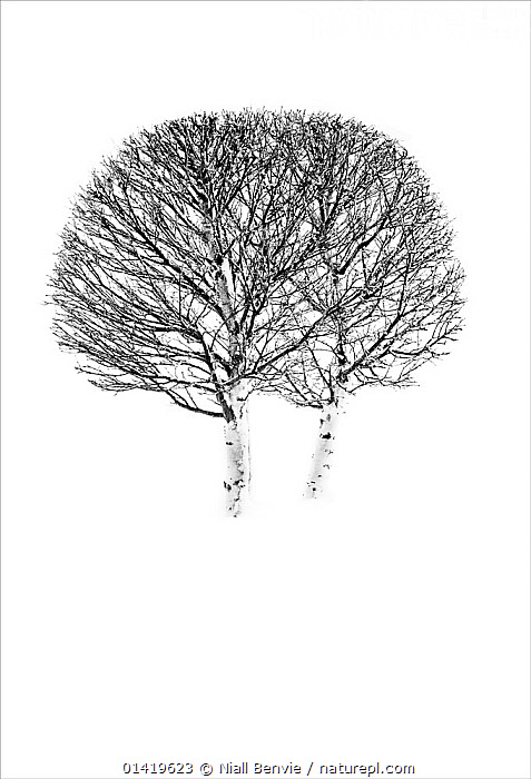 Twin Birch (Betula) trees highlighted  snow. Senja, Norway, February., ABSTRACT,ARTY SHOTS,BETULACEAE,BLACK,DICOTYLEDONS,EUROPE,LANDSCAPES,MONOCHROME,NORWAY,PLANTS,SHAPES,TWO,WHITE,WHITE BACKGROUND,WINTER,Scandinavia,Catalogue5, Niall Benvie