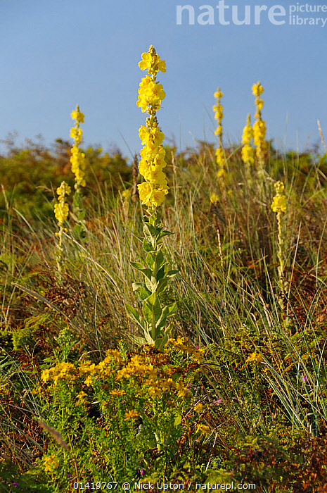 Aaron's rod (Verbascum thapsus) flowering in profusion on a stable coastal sand dune among grases, Bracken and other plants, Gower Peninsula, Wales, UK, July.  ,  COASTAL,COASTS,DICOTYLEDONS,DUNES,ENGLAND,EUROPE,FLOWERS,PLANTS,SAND DUNES,SCROPHULARIACAEA,SUMMER,VERTICAL,WALES,YELLOW,United Kingdom  ,  Nick Upton