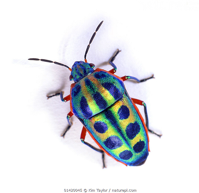 Rainbow Shield Bug (Calidea dregii) Endemic to Southern Africa.  ,  AFRICA,BLUE,BUGS,COLOURFUL,CUTOUT,HEMIPTERA,INSECTS,INVERTEBRATES,MACRO,SHIELDBUGS,SOUTH AFRICA,white background,YELLOW,Catalogue5  ,  Kim Taylor
