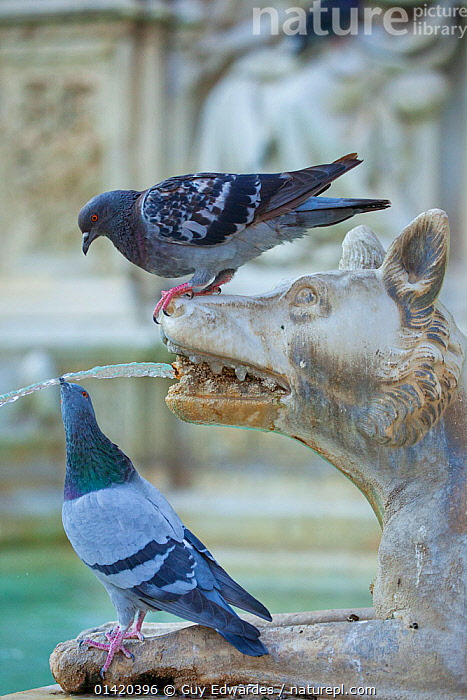 Feral Pigeon (Columba livia) drinking from Fonte Gaia (Fountain of Joy). Piazza del Campo, Sienna, Italy, September., ART,BIRDS,COLUMBIFORMES,DOVES,DRINKING,EUROPE,HUMOROUS,ITALY,PEST,PESTS,STATUES,TUSCANY,TWO,URBAN,VERTEBRATES,VERTICAL,Concepts, Guy Edwardes