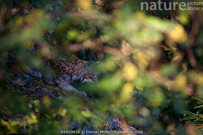 Eurasian Lynx (Lynx lynx), captive, female in evening light, hidden behind foliage. Enclosure of the Bavarian Forest National Park,  Germany, July  ,  CAMOUFLAGE,CARNIVORES,CATS,EUROPE,FELIDAE,FEMALES,FORESTS,GERMANY,MAMMALS,NP,RESERVE,VERTEBRATES,National Park,Catalogue5  ,  Florian Möllers