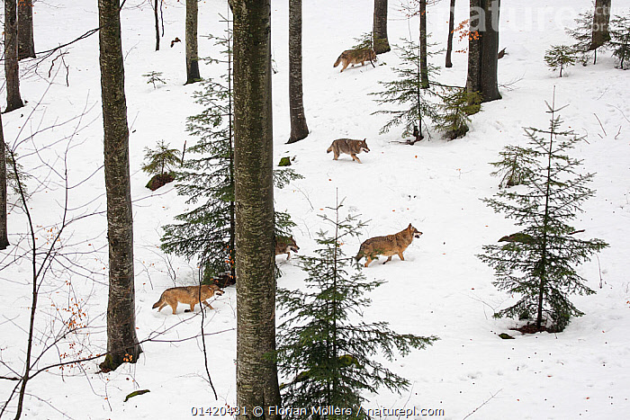 Wolf (Canis lupus) pack running in deep snow, captive in enclosure of the Bavarian Forest National Park, Germany, February  ,  CANIDAE,CANIDS,CARNIVORES,EUROPE,FORESTS,GERMANY,GROUPS,MAMMALS,NP,RESERVE,SNOW,TREES,VERTEBRATES,WINTER,WOLVES,National Park,PLANTS,Dogs,Catalogue5  ,  Florian Möllers