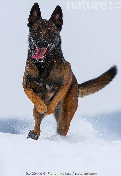 A Malinois / Belgian Shepherd police dog 'Mia' owned by German police officer and dog handler, playing in the snow.  Germany  ,  CANIDAE,DOGS,EUROPE,FEMALES,GERMANY,JUMPING,LARGE DOGS,LEAPING,OUTDOORS,PASTORAL DOGS,PETS,PLAYFUL,PLAYING,PLAYS,RUNNING,SNOW,TONGUES,VERTEBRATES,WINTER,Canids,Catalogue5  ,  Florian Möllers