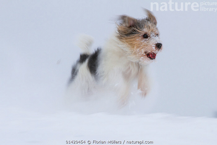 'Jogi', a Jack Russell Terrier cross breed, male playing in the snow.  Germany  ,  CANIDAE,CROSS BREED,CROSSBREED,DOGS,EUROPE,GERMANY,MALES,MONGREL,MUTT,OUTDOORS,PETS,PLAYFUL,PLAYS,RUNNING,SNOW,VERTEBRATES,WINTER,Canids,Catalogue5  ,  Florian Möllers