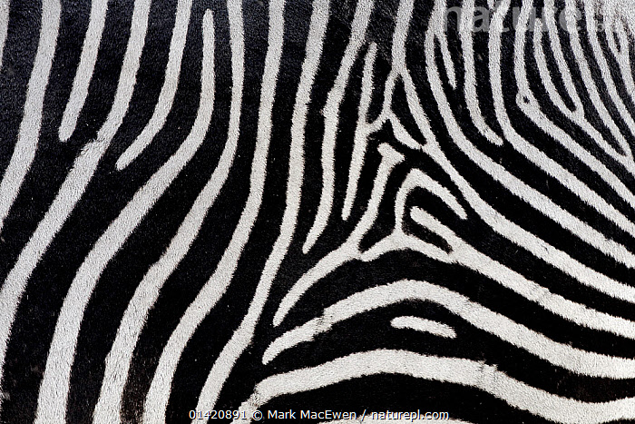 Grevy's zebra (Equus grevyi) close-up of coat, Ol Pejeta Conservancy, Kenya, Africa., AFRICA,CLOSE UPS,COAT,CRYPTIC,EAST AFRICA,ENDANGERED,EQUIDAE,FUR,MAMMALS,PATTERNS,PERISSODACTYLA,STRIPES,VERTEBRATES,ZEBRAS,Equines,Catalogue5, Mark MacEwen