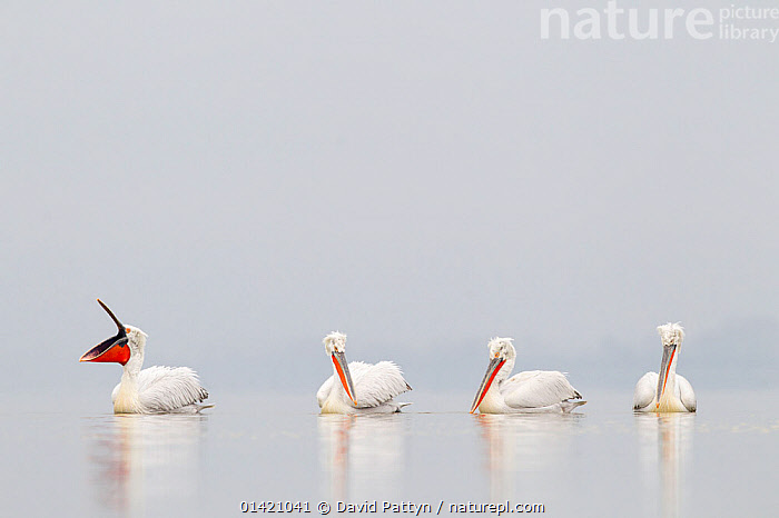 Dalmatian Pelicans (Pelecanus crispus) on water, one with beak open. Lake Kerkini, Greece, March 2012., BIRDS,EUROPE,FOUR,GREECE,GROUPS,LAKES,PELICANIDAE,PELICANS,SEABIRDS,VERTEBRATES,YANWNING, David Pattyn
