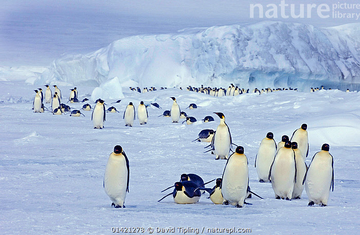 Emperor Penguins (Aptenodytes forsteri) on the march to the sea from their colony Snow Hill Island, Antarctica, November, ANTARCTICA,BIRDS,FLIGHTLESS,GROUPS,HABITAT,LANDSCAPES,MIGRATION,PENGUINS,POLAR,SEABIRDS,VERTEBRATES,WALKING, David Tipling