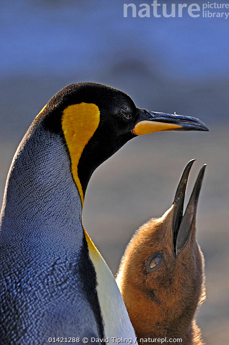 King Penguin (Aptenodytes patagonicus) chick begging for food at St Andrews Bay colony, South Georgia, November, ANTARCTICA,BABIES,BIRDS,CHICKS,CUTE,FEEDING,FLIGHTLESS,GROUPS,ISLANDS,PARENTAL,PENGUINS,POLAR,PORTRAITS,SEABIRDS,SOUTH ATLANTIC ISLANDS,SUBANTARCTIC ISLANDS,VERTEBRATES,VERTICAL,YOUNG, David Tipling