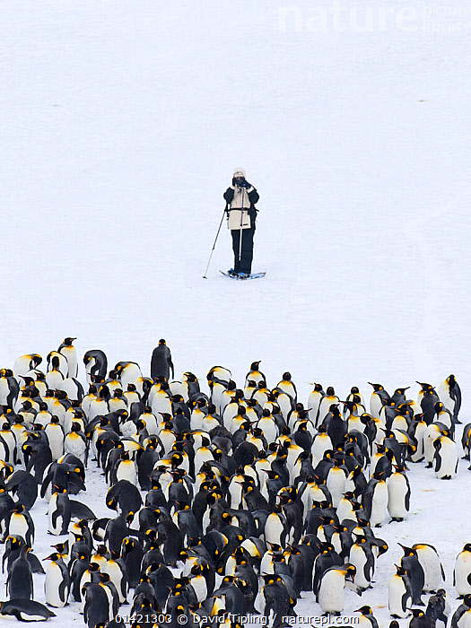 Tourist photographing King Penguins (Aptenodytes patagonicus) Fortuna Bay, South Georgia, November 2006. No release available., ANTARCTICA,BIRDS,catalogue5,elevated view,FLIGHTLESS,Fortuna Bay,GROUPS,INTERACTION,ISLANDS,large group of animals,MAN,mid adult,one man only,one person,outdoors,PENGUINS,PEOPLE,photographing,PHOTOGRAPHY,POLAR,SEABIRDS,SNOW,SOUTH ATLANTIC ISLANDS,SOUTH GEORGIA,STANDING,SUBANTARCTIC ISLANDS,TOURISM,tourist,VERTEBRATES,VERTICAL,WHITE,white background,WILDLIFE,wildlife watching,FALKLAND ISLANDS, David Tipling
